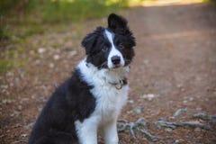 Cachorrinho de border collie Fotografia de Stock