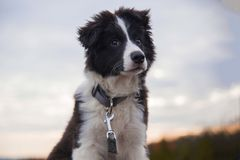 Cachorrinho de border collie Fotos de Stock