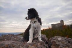 Cachorrinho de border collie Imagens de Stock