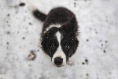 Cachorrinho de border collie Fotos de Stock Royalty Free