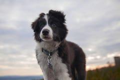 Cachorrinho de border collie Fotografia de Stock Royalty Free