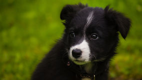 Cachorrinho de border collie Fotografia de Stock Royalty Free