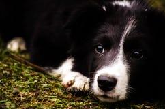 Cachorrinho de border collie Foto de Stock Royalty Free