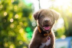 Cachorrinho de Brown labrador retriever no por do sol Fotos de Stock Royalty Free
