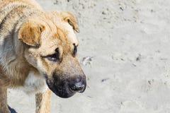Cachorrinho de Brown que olha com medo devido à culpa Imagens de Stock