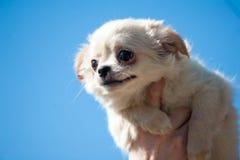 Cachorrinho de Chiwawa nas mãos humanas Imagens de Stock Royalty Free