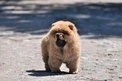 Cachorrinho de Chow Chow Fotografia de Stock