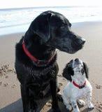 Cachorrinho de cocker spaniel com Labrador preto Imagens de Stock Royalty Free