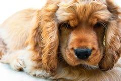 Cachorrinho de cocker spaniel irritado Fotografia de Stock Royalty Free