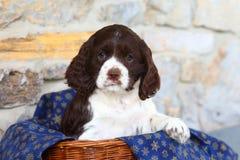 Cachorrinho de cocker spaniel que senta-se na cesta com a cobertura com flocos de neve Imagens de Stock Royalty Free