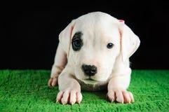 Cachorrinho de Dogo Argentino Fotografia de Stock Royalty Free