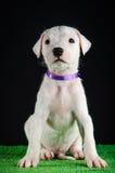 Cachorrinho de Dogo Argentino Fotografia de Stock