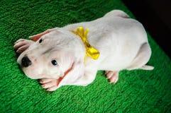 Cachorrinho de Dogo Argentino Foto de Stock Royalty Free