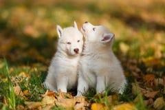 Cachorrinho de dois cães de puxar trenós fotografia de stock royalty free