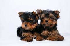 Cachorrinho de dois yorkshires terrier em um fundo branco fotografia de stock