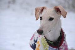 Cachorrinho de Galgo Espanol Fotos de Stock