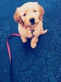 Cachorrinho de Goldendoodle Fotografia de Stock