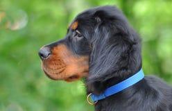 Cachorrinho de Gordon Setter no verão Imagens de Stock
