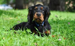 Cachorrinho de Gordon Setter no verão Fotografia de Stock Royalty Free