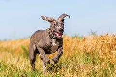 Cachorrinho de great dane que corre em um trajeto do país fotos de stock