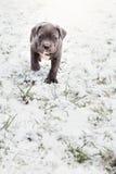 Cachorrinho de Grey Italian Mastiff foto de stock
