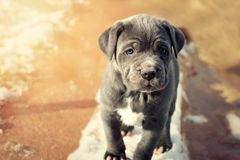 Cachorrinho de Grey Neapolitan Mastiff Foto de Stock Royalty Free
