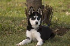 Cachorrinho de Huskie fotos de stock