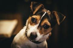 Cachorrinho de Jack Russel Fotografia de Stock