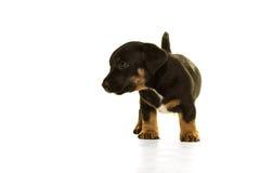 Cachorrinho de Jack Russel isolado no branco Foto de Stock