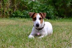 Cachorrinho de Jack Russel no jardim Foto de Stock Royalty Free