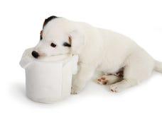 Cachorrinho de Jack Russell com papel higiênico Fotografia de Stock Royalty Free