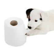 Cachorrinho de Jack Russell com papel higiênico Imagens de Stock