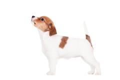 Cachorrinho de Jack Russell (1,5 meses velho) no branco Foto de Stock