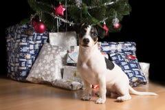 Cachorrinho de Jack Russell que espera sob a árvore de Natal Fotos de Stock