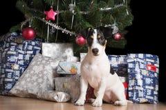 Cachorrinho de Jack Russell que espera sob a árvore de Natal Fotografia de Stock