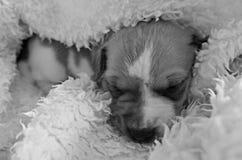 Cachorrinho de Jack Russell Terrier Fotografia de Stock