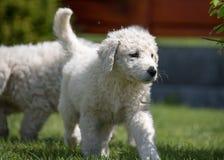 Cachorrinho de Kuvasz Imagens de Stock Royalty Free