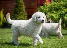 Cachorrinho de Kuvasz Fotos de Stock