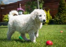 Cachorrinho de Kuvasz Fotografia de Stock