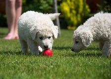 Cachorrinho de Kuvasz Imagem de Stock Royalty Free
