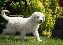 Cachorrinho de Kuvasz Fotos de Stock Royalty Free