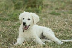 Cachorrinho de Kuvasz do Hungarian fotografia de stock royalty free