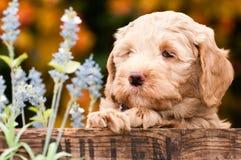 Cachorrinho de Labradoodle Imagens de Stock Royalty Free
