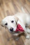 Cachorrinho de Labrador Imagens de Stock