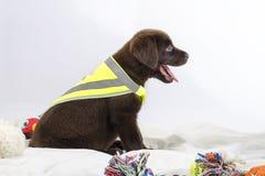 Cachorrinho de Labrador Fotografia de Stock Royalty Free
