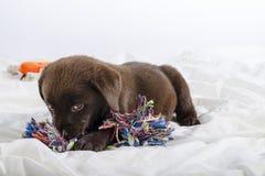 Cachorrinho de Labrador Foto de Stock