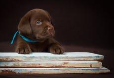 Cachorrinho de Labrador do chocolate que encontra-se no colorido Imagem de Stock