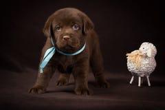 Cachorrinho de Labrador do chocolate que está ao lado do branco Imagens de Stock