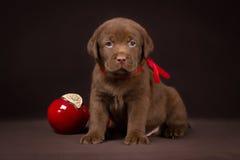 Cachorrinho de Labrador do chocolate que senta-se em um marrom Imagens de Stock