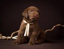 Cachorrinho de Labrador do chocolate que senta-se em um marrom Imagem de Stock Royalty Free